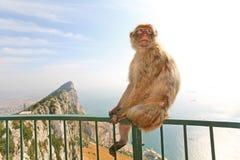 Scimmia della Gibilterra che propone sulla rete fissa Fotografie Stock Libere da Diritti