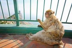 Scimmia della Gibilterra sull'allerta Immagini Stock Libere da Diritti