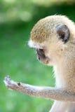 Scimmia della lettura Immagini Stock