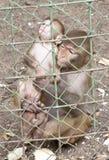 Scimmia della madre Fotografia Stock