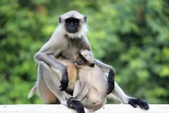 Scimmia della madre con il suo bambino Immagini Stock