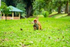 Scimmia della madre con un viso arrossato proteggere il suo bambino fotografie stock libere da diritti