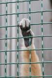 Scimmia della mano Fotografia Stock Libera da Diritti