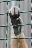 Scimmia della mano Immagine Stock