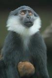 Scimmia della montagna Immagine Stock Libera da Diritti