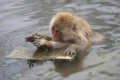 Scimmia della neve Fotografie Stock Libere da Diritti