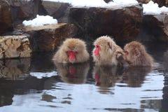 Scimmia della neve Immagini Stock