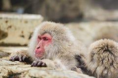 Scimmia della neve Immagine Stock