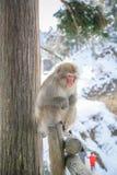 Scimmia della neve che si siede sul palo, Giappone Immagini Stock