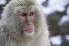 Scimmia della neve del ritratto Fotografie Stock Libere da Diritti