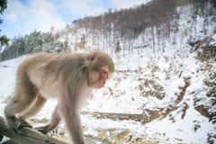 Scimmia della neve, Giappone Immagini Stock Libere da Diritti