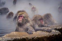 Scimmia della neve a Nagano Giappone fotografia stock libera da diritti
