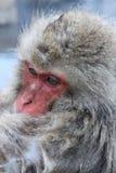 Scimmia della neve nel Giappone Fotografia Stock