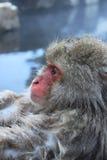 Scimmia della neve nel Giappone Immagini Stock