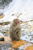 Scimmia della neve sull'inferriata in montagne giapponesi Immagine Stock