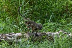 Scimmia della palude del ` s di Allen Immagini Stock Libere da Diritti