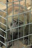 Scimmia della prigione Fotografie Stock