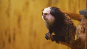 Scimmia della razza dell'uistitì video d archivio