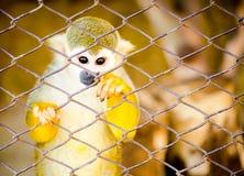 Scimmia della sfuocatura negli ambiti di provenienza della gabbia Immagine Stock
