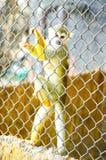 Scimmia della sfuocatura nel fondo della gabbia Immagini Stock Libere da Diritti