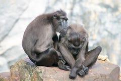 Scimmia delle coppie Immagine Stock