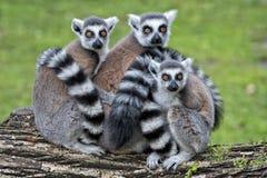 Scimmia delle lemure Fotografie Stock