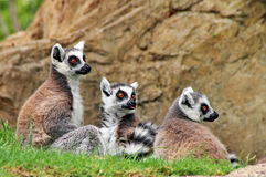 Scimmia delle lemure immagini stock libere da diritti