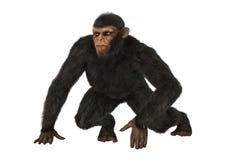 Scimmia dello scimpanzè su bianco Immagini Stock