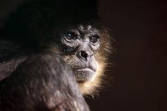 scimmia di affari Immagine Stock Libera da Diritti