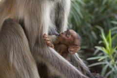 Scimmia di allattamento al seno Fotografia Stock