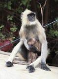 Scimmia di allattamento al seno Immagini Stock