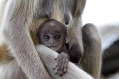 Scimmia di allattamento al seno Fotografia Stock Libera da Diritti