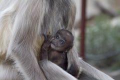 Scimmia di allattamento al seno Fotografie Stock Libere da Diritti