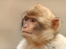 Scimmia di Barbary Fotografia Stock