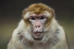 Scimmia di Barbary immagine stock