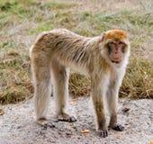 Scimmia di Barbary che si leva in piedi sul calcestruzzo Fotografie Stock