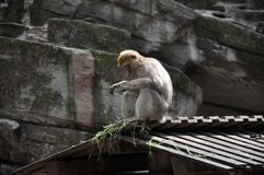 Scimmia di Barbary che si siede sul tetto immagini stock