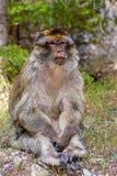 Scimmia di Barbary del maschio adulto, sylvanus del Macaca, Marocco Fotografie Stock Libere da Diritti