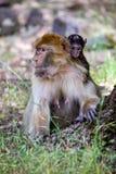 Scimmia di Barbary femminile, sylvanus del Macaca, con un giovane, il Marocco Fotografia Stock