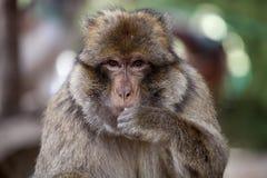 Scimmia di Barbary maschio dominante del ritratto, Macaca Sylvanus, montagne di atlante, Marocco Fotografia Stock Libera da Diritti
