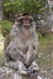Scimmia di Barbary maschio dominante, Macaca Sylvanus, montagne di atlante, Marocco Fotografia Stock