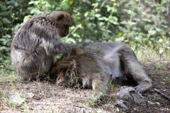 Scimmia di Barbary reciproca di cura di capelli, Macaca Sylvanus, montagne di atlante, Marocco Immagine Stock Libera da Diritti