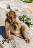 Scimmia di Barbary su roccia Fotografia Stock Libera da Diritti