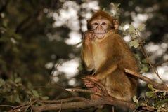 Scimmia di Barbary (sylvanus del Macaca) in legno del cedro vicino Fotografia Stock Libera da Diritti