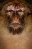 Scimmia di Barbary (sylvanus del Macaca) in legno del cedro vicino Fotografia Stock