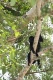 Scimmia di Belize Immagini Stock