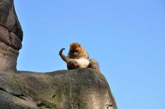 Scimmia di Berber che cerca le pulci Immagini Stock Libere da Diritti