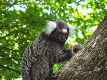 Scimmia di Callitrichinae Immagini Stock