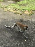 Scimmia di camminata vicino dal tempio della scimmia immagini stock libere da diritti