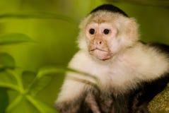 Scimmia di Capucin nel selvaggio Fotografie Stock